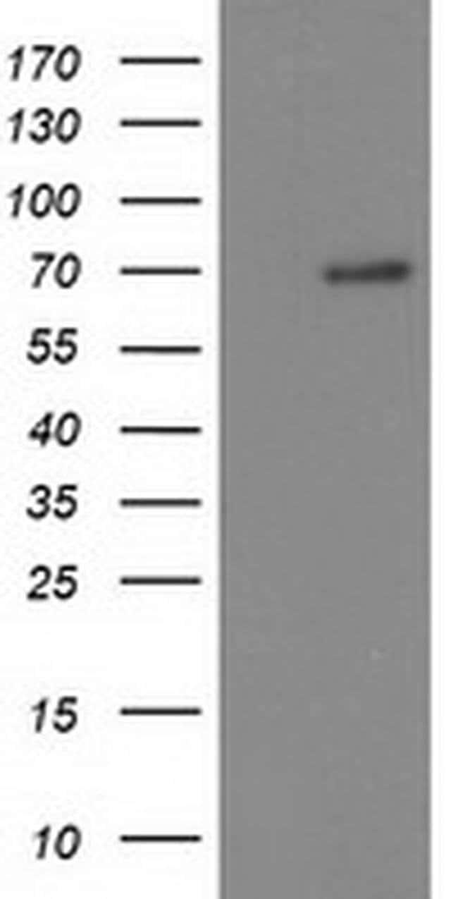 BTRC Mouse anti-Human, Clone: OTI1A4, liquid, TrueMAB  100 µL; Unconjugated