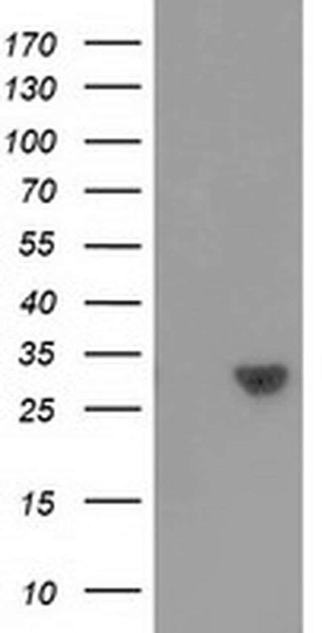C16orf72 Mouse anti-Human, Clone: OTI1A2, liquid, TrueMAB  100 µL;