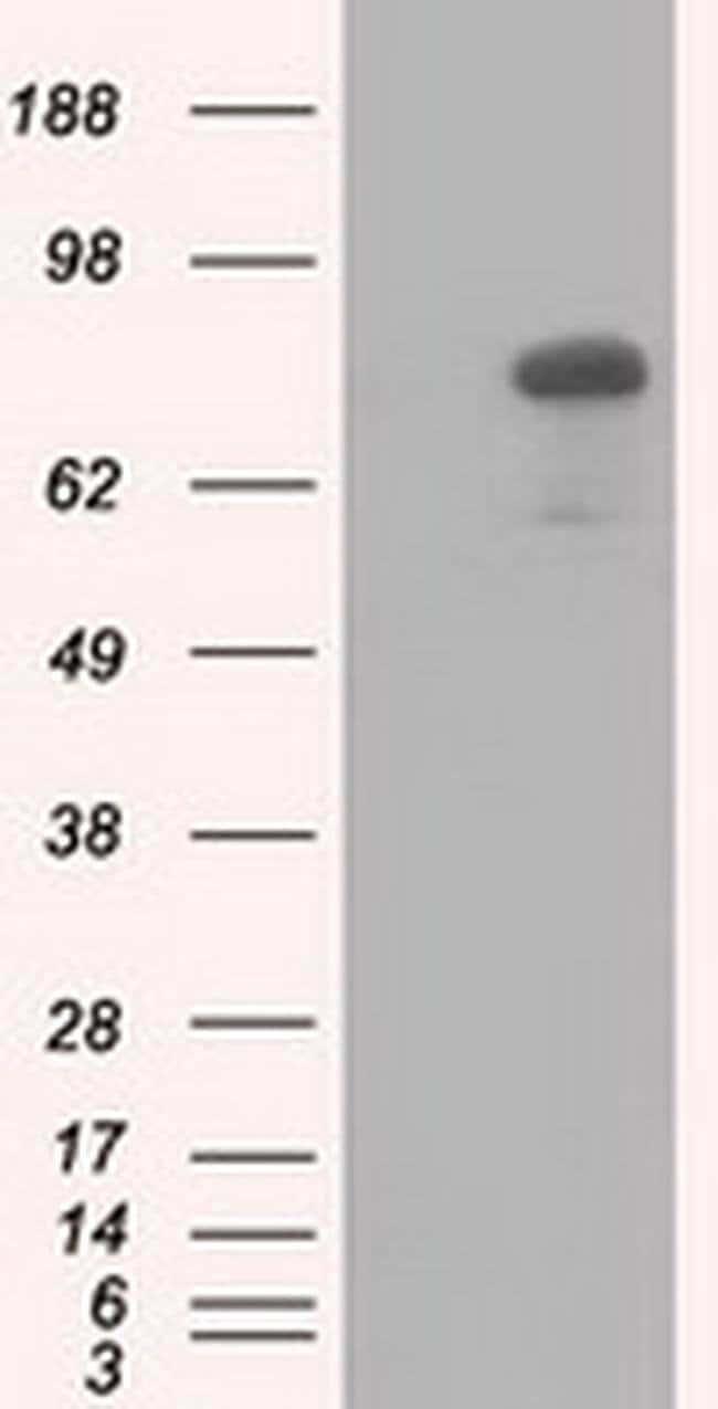 C17orf28 Mouse anti-Canine, Human, Rat, Clone: OTI2F4, liquid, TrueMAB