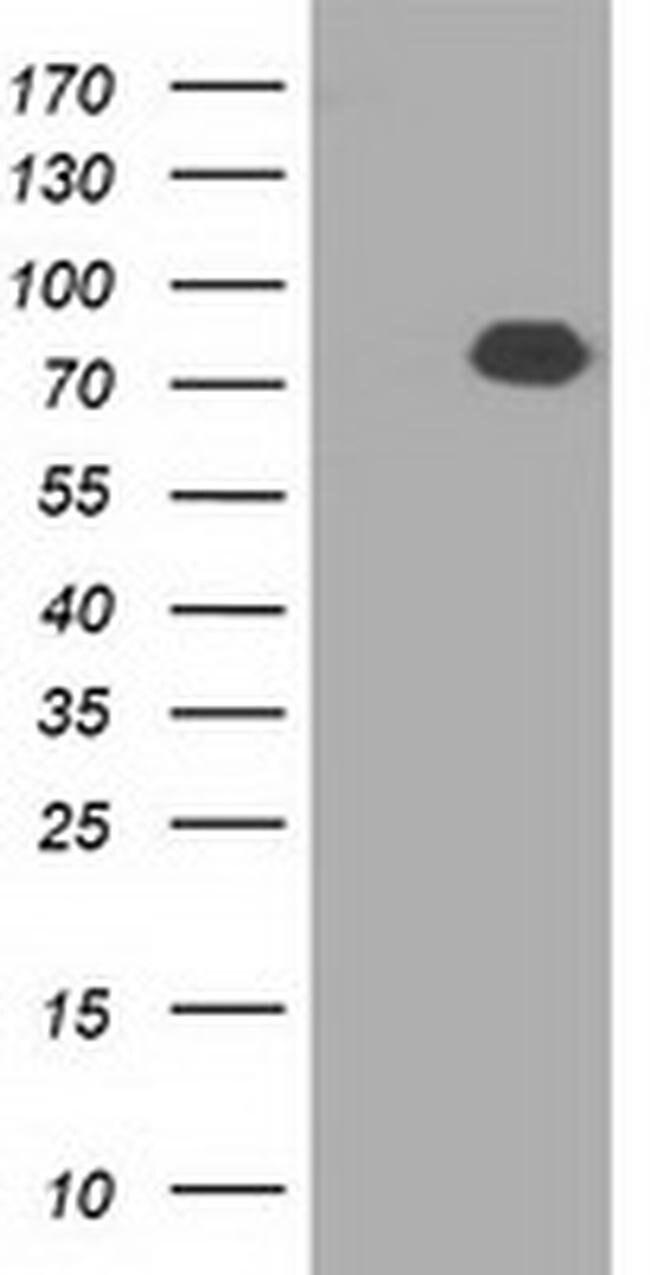 C17orf28 Mouse anti-Human, Clone: OTI2G6, liquid, TrueMAB  100 µL;