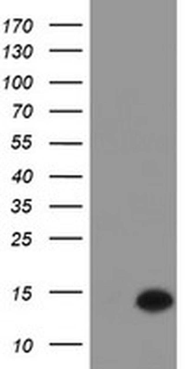 C17orf37 Mouse anti-Human, Clone: OTI4D6, liquid, TrueMAB  100 µL;