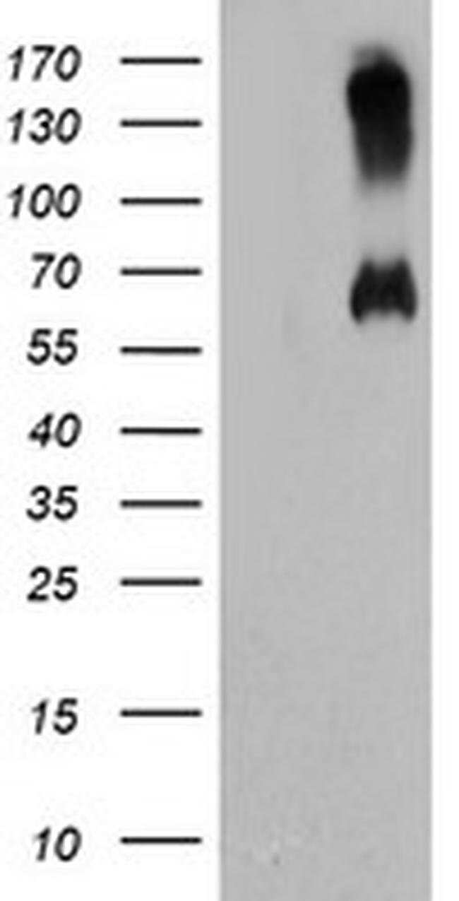 C18orf8 Mouse anti-Human, Clone: OTI4E4, liquid, TrueMAB  100 µL;