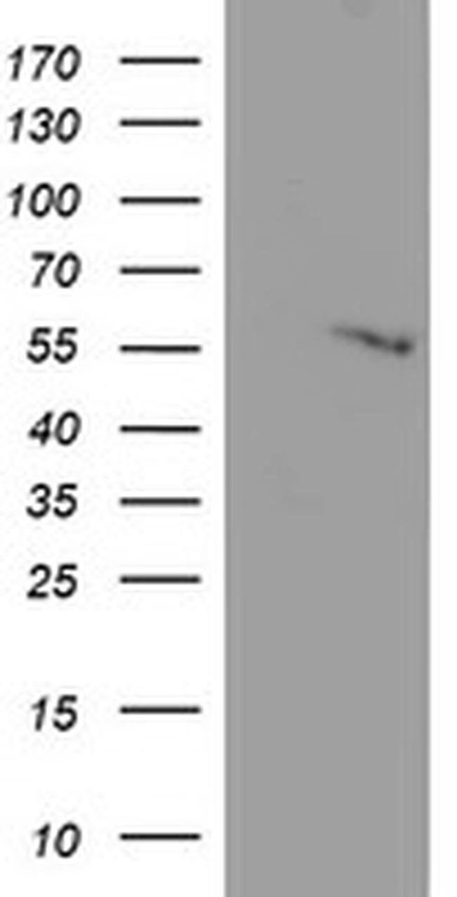 C20orf3 Mouse anti-Human, Clone: OTI3F2, liquid, TrueMAB  100 µL;
