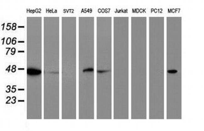 C20orf3 Mouse anti-Human, Clone: OTI4E2, liquid, TrueMAB  100 µL;