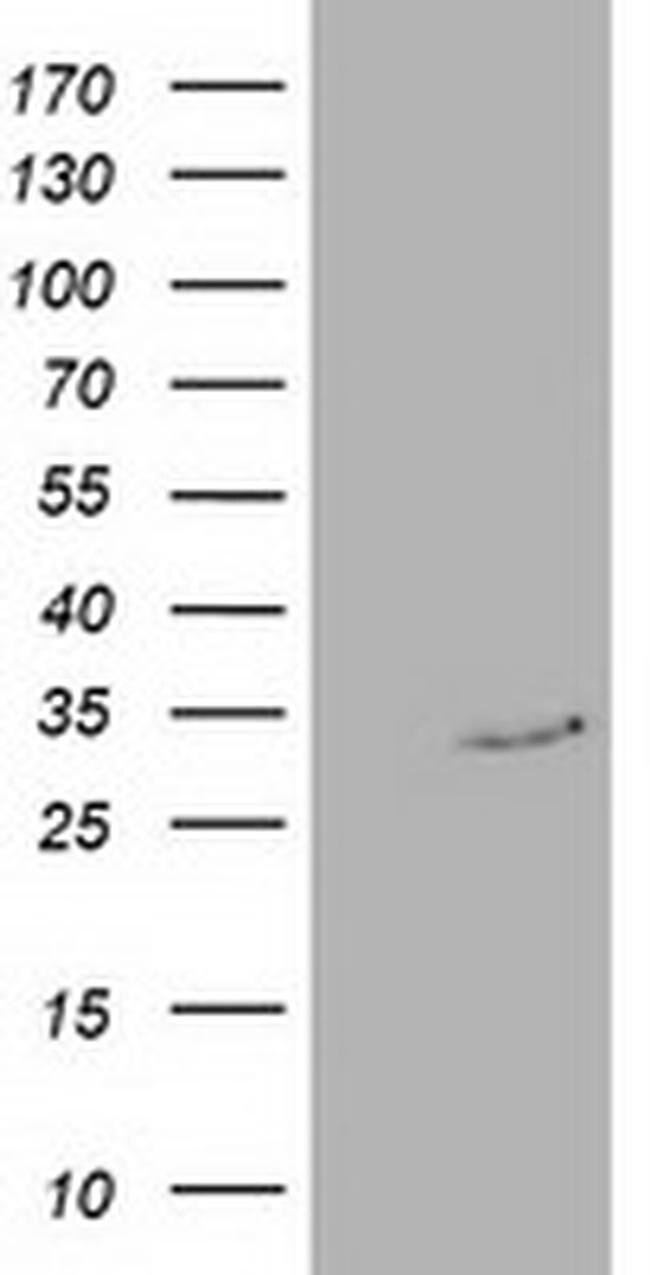 C20orf43 Mouse anti-Human, Clone: OTI3A5, liquid, TrueMAB  100 µL;
