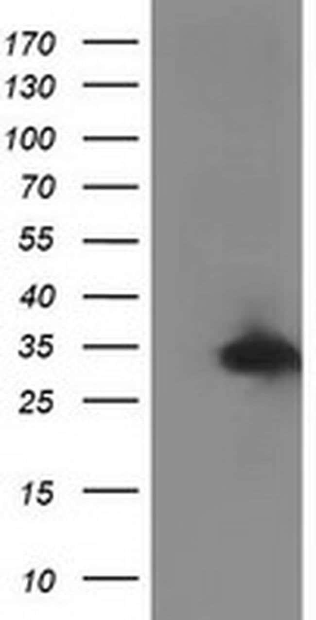 C20orf43 Mouse anti-Human, Clone: OTI7E10, liquid, TrueMAB  100 µL;