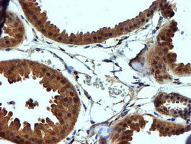 C2orf56 Mouse anti-Human, Clone: OTI4A5, liquid, TrueMAB  100 µL;