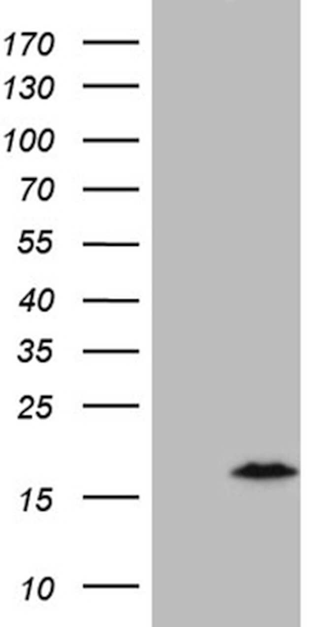 C4orf36 Mouse anti-Human, Clone: OTI8B7, lyophilized, TrueMAB  100 µg;