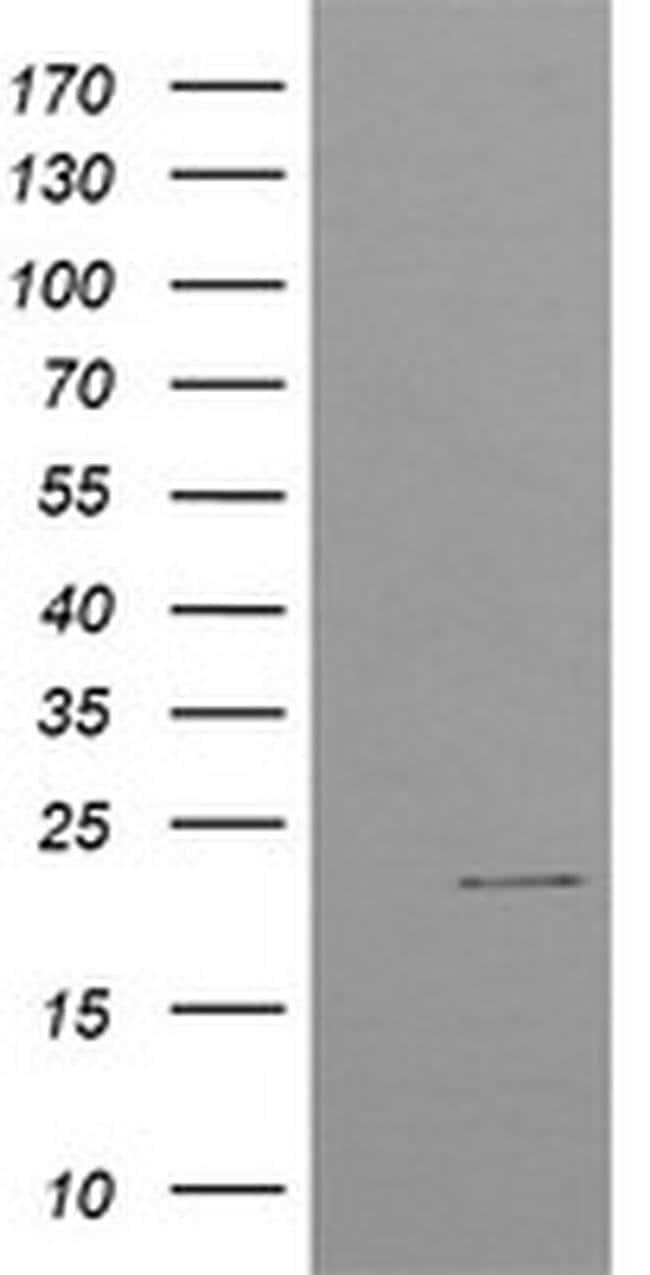 C4orf42 Mouse anti-Human, Clone: OTI4F2, liquid, TrueMAB  100 µL;