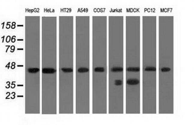 C9orf41 Mouse anti-Canine, Human, Rat, Clone: OTI4A2, liquid, TrueMAB