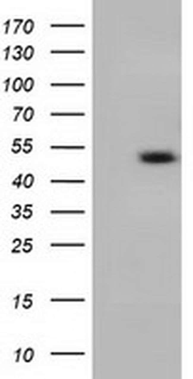 C9orf41 Mouse anti-Human, Clone: OTI1E8, liquid, TrueMAB  100 µL;