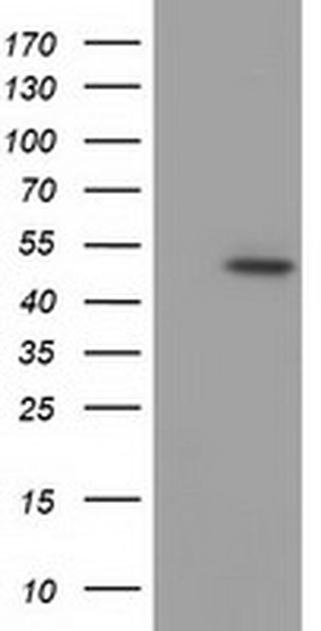 C9orf41 Mouse anti-Human, Clone: OTI6A2, liquid, TrueMAB  100 µL;