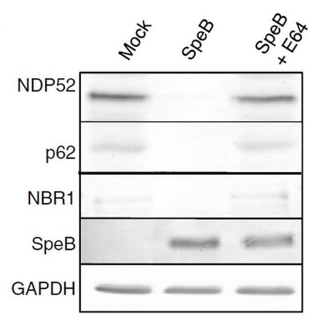 CALCOCO2 Mouse anti-Human, Clone: OTI4H5, liquid, TrueMAB  30 µL;