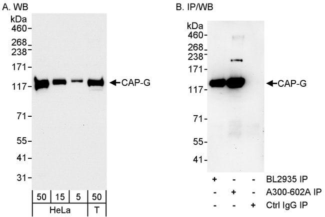 CAP-G Rabbit anti-Human, Polyclonal, Bethyl Laboratories 100 μL; Unconjugated:Antibodies