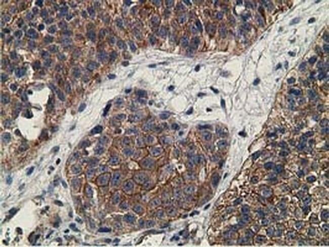 CCNB1IP1 Mouse anti-Human, Clone: OTI4H3, liquid, TrueMAB  100 µL;