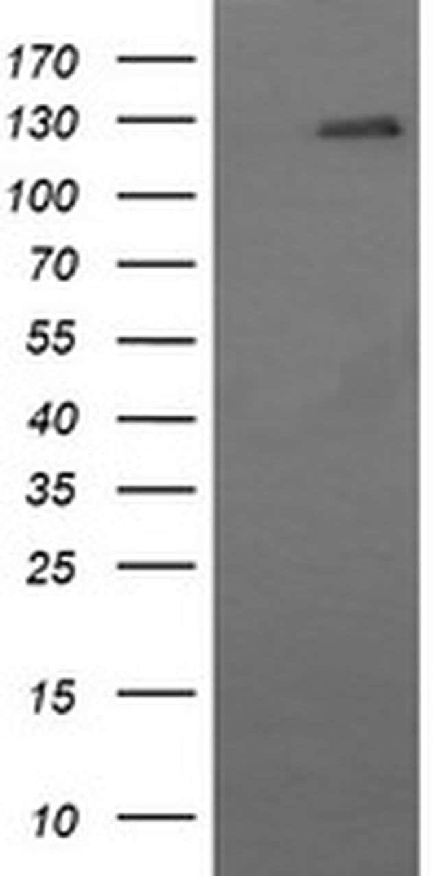 CD163 Mouse anti-Human, Clone: OTI2G12, liquid, TrueMAB  30 µL; Unconjugated