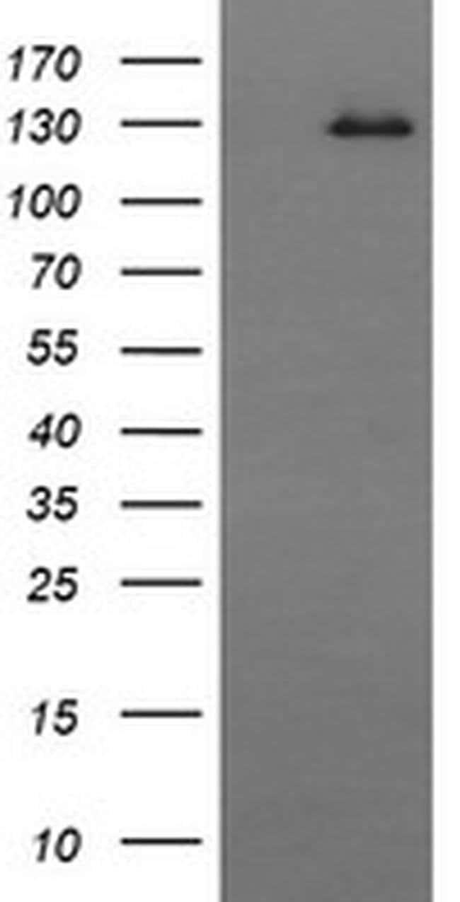 CD163 Mouse anti-Human, Clone: OTI3B4, liquid, TrueMAB  100 µL; Unconjugated