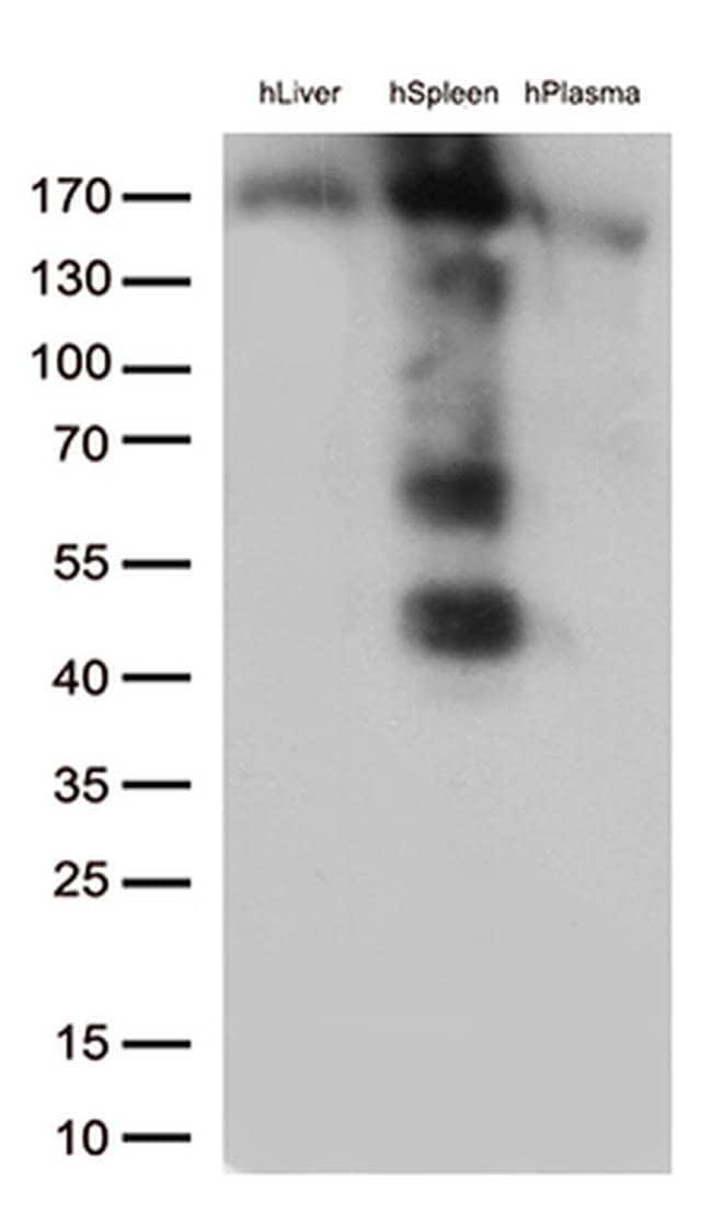 CD163 Mouse anti-Human, Clone: OTI3C1, liquid, TrueMAB  100 µL; Unconjugated