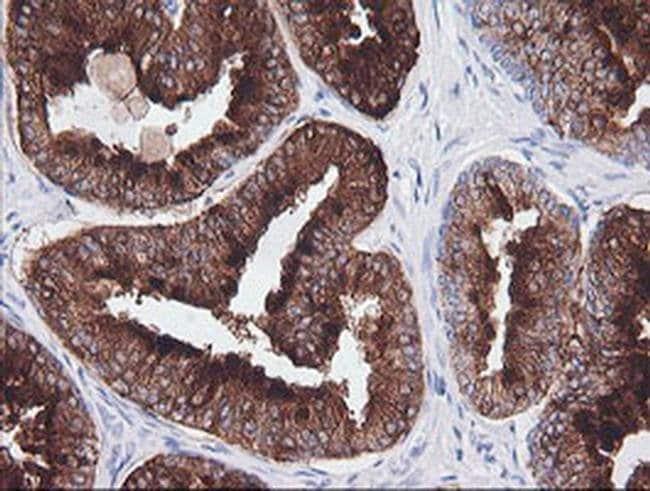 CD1C Mouse anti-Human, Clone: OTI1H9, liquid, TrueMAB  100 µL; Unconjugated