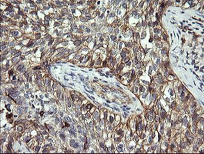 CD1C Mouse anti-Human, Clone: OTI2F4, liquid, TrueMAB  100 µL; Unconjugated