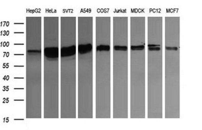 CD22 Mouse anti-Canine, Human, Mouse, Rat, Clone: OTI4C3, liquid, TrueMAB