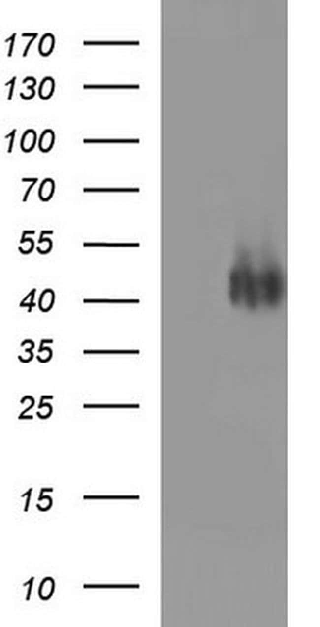 CD33 Mouse anti-Human, Clone: OTI1H8, liquid, TrueMAB  100 µL; Unconjugated