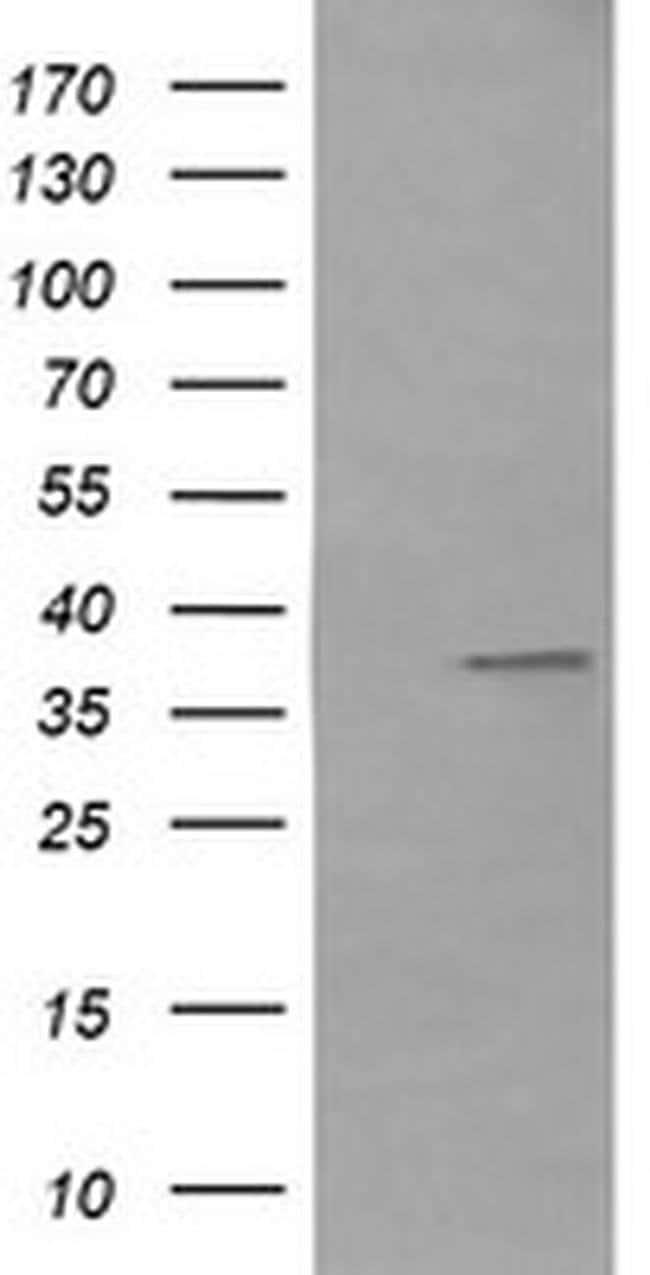 CD33 Mouse anti-Human, Clone: OTI2F8, liquid, TrueMAB  100 µL; Unconjugated