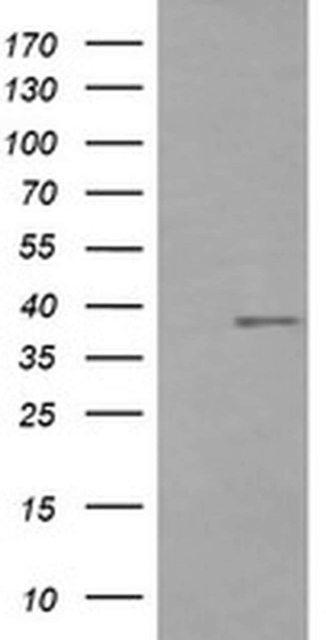 CD33 Mouse anti-Human, Clone: OTI1G10, liquid, TrueMAB  100 µL; Unconjugated