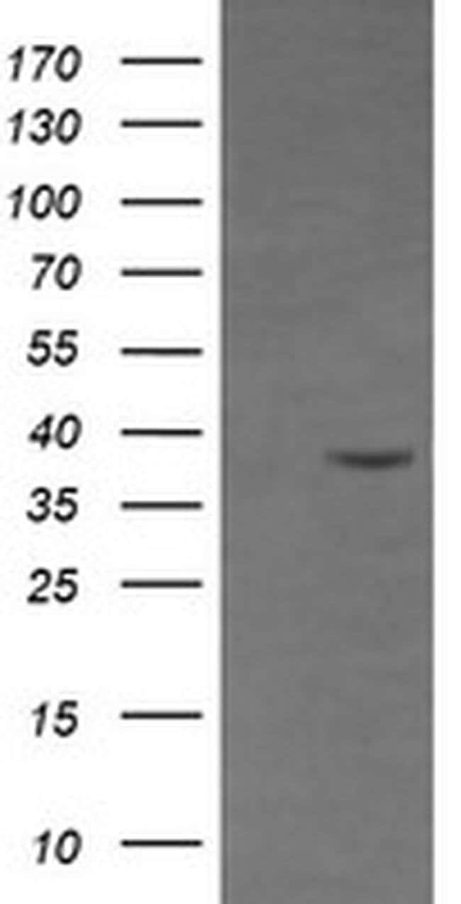 CD33 Mouse anti-Human, Clone: OTI1C4, liquid, TrueMAB  100 µL; Unconjugated