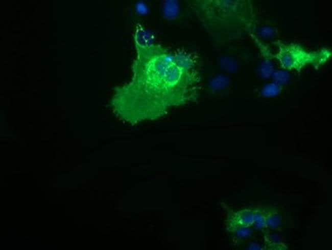 CD80 Mouse anti-Human, Clone: OTI2E5, liquid, TrueMAB  30 µL; Unconjugated