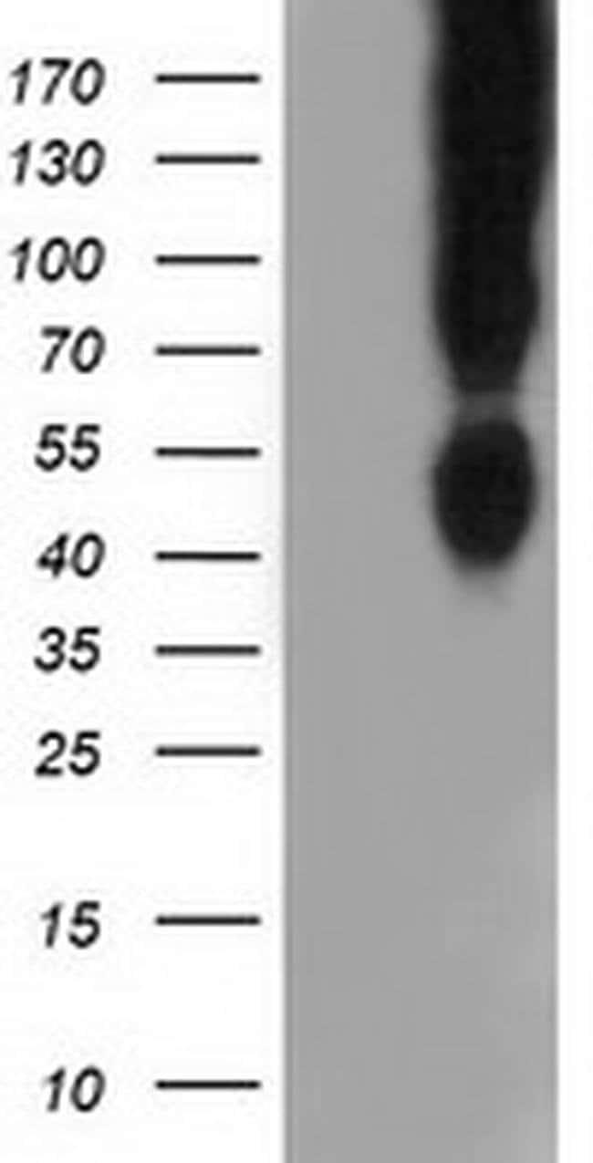 CD80 Mouse anti-Human, Clone: OTI2H1, liquid, TrueMAB  100 µL; Unconjugated