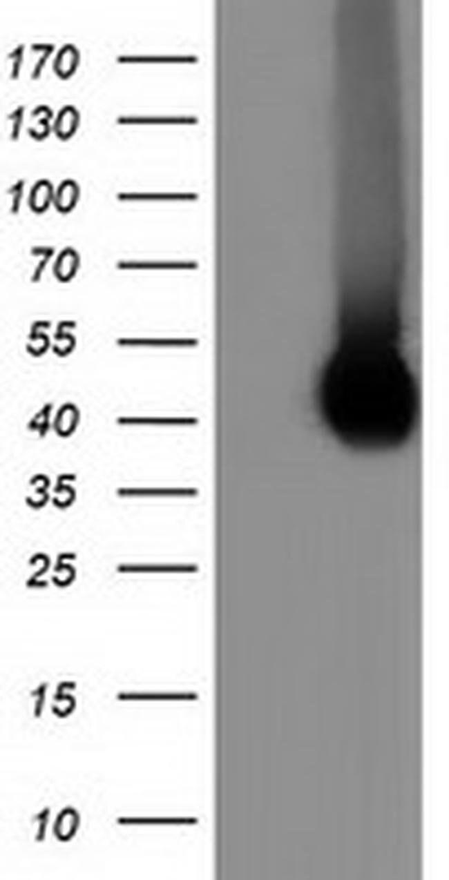 CD80 Mouse anti-Canine, Human, Rat, Clone: OTI1E9, liquid, TrueMAB  100