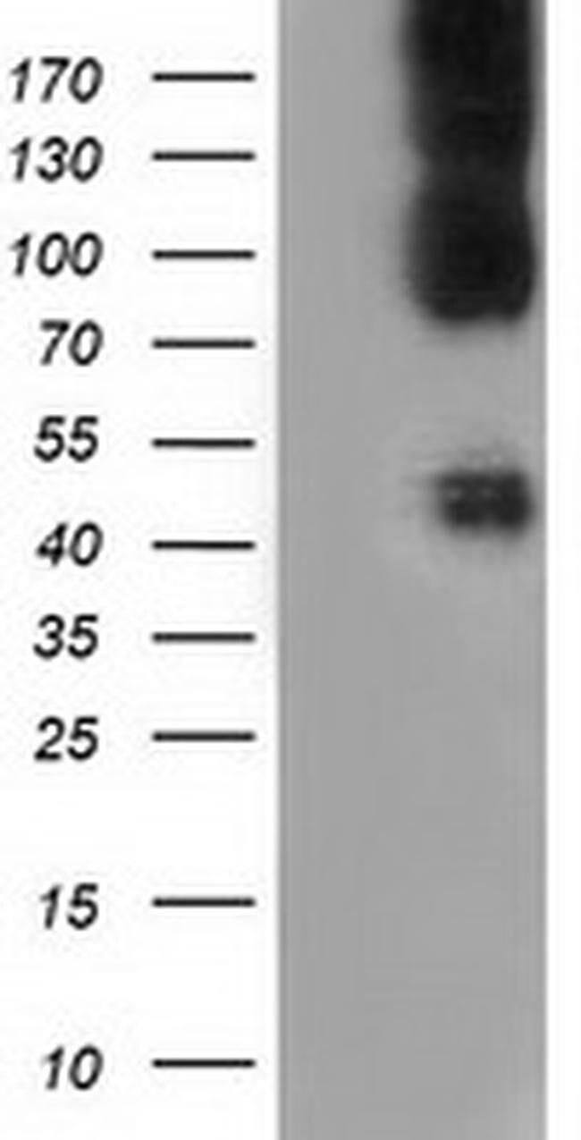 CD80 Mouse anti-Human, Clone: OTI9H1, liquid, TrueMAB  100 µL; Unconjugated