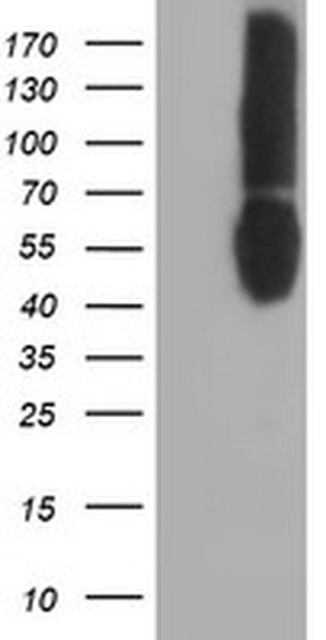 CD80 Mouse anti-Human, Clone: OTI3F1, liquid, TrueMAB  100 µL; Unconjugated