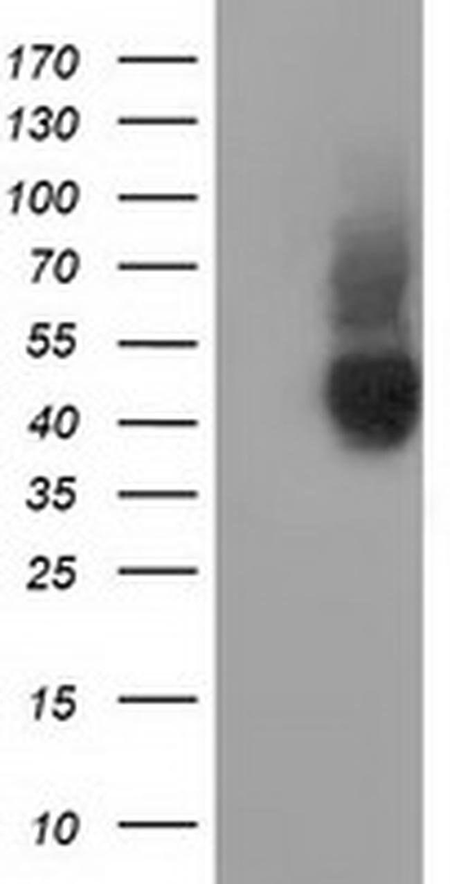 CD80 Mouse anti-Human, Clone: OTI10D8, liquid, TrueMAB  100 µL; Unconjugated