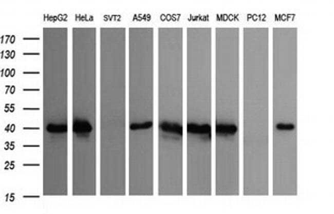 CDC123 Mouse anti-Canine, Human, Clone: OTI1F8, liquid, TrueMAB  100 µL;