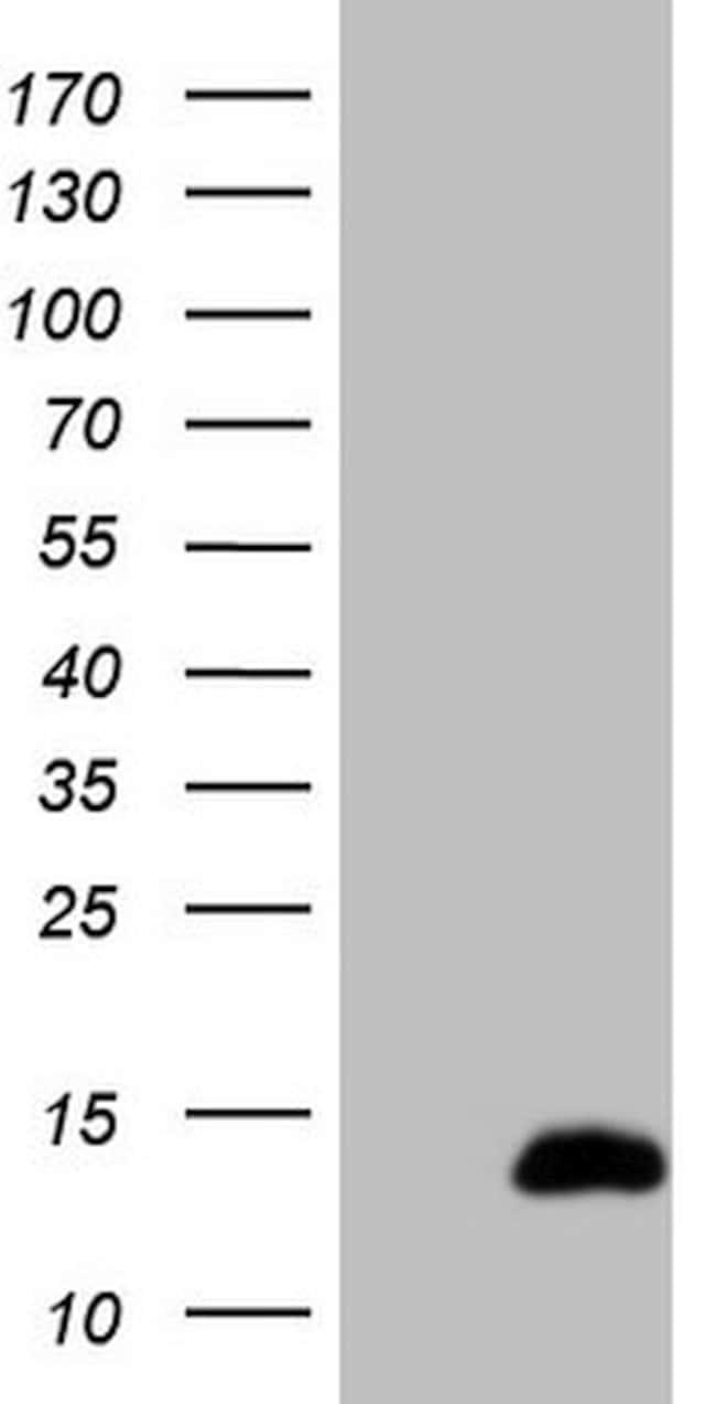 CDC42SE2 Mouse anti-Human, Clone: OTI10A5, lyophilized, TrueMAB  100 µg;