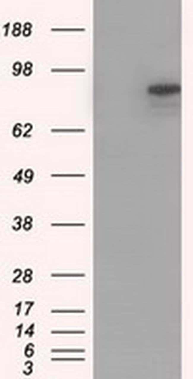 CDH13 Mouse anti-Human, Clone: OTI3H6, liquid, TrueMAB  100 µL; Unconjugated