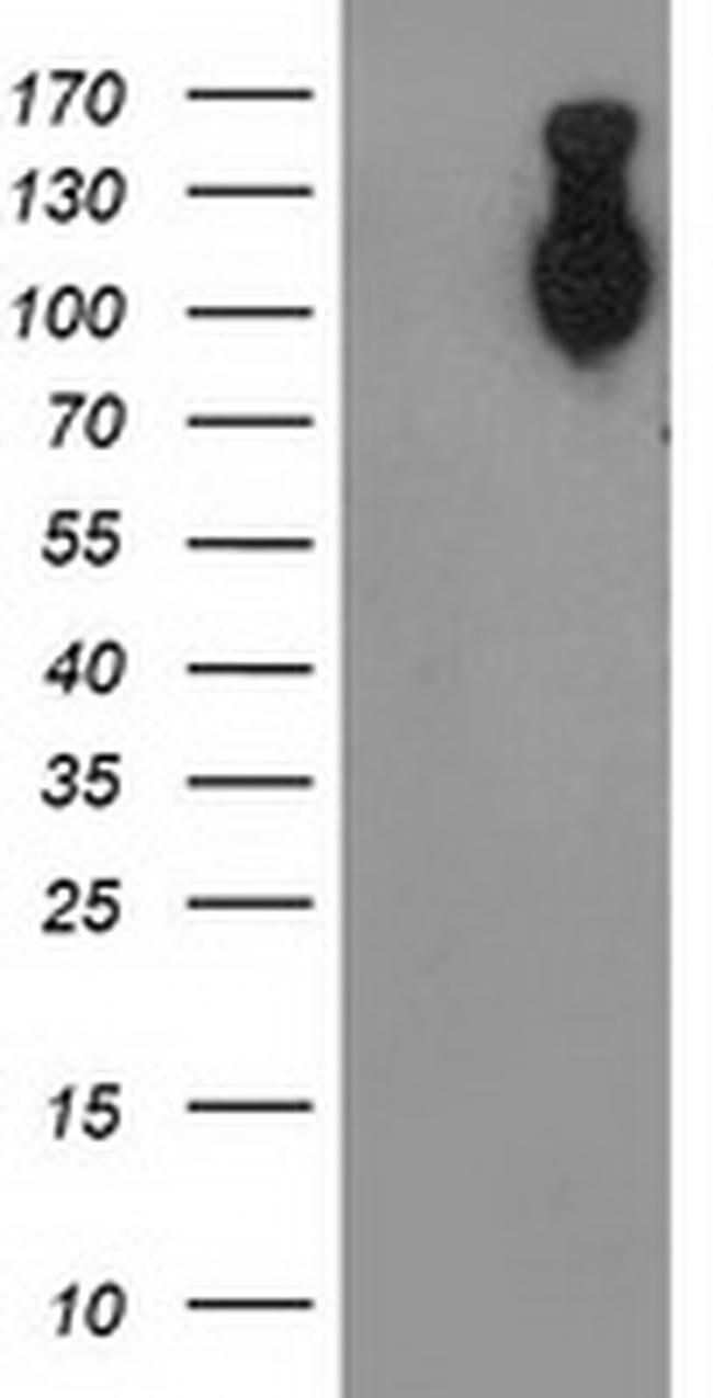 CDH2 Mouse anti-Human, Clone: OTI3B10, liquid, TrueMAB  100 µL; Unconjugated