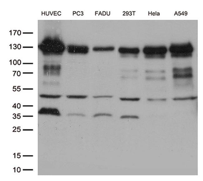 CDH2 Mouse anti-Canine, Human, Mouse, Clone: OTI2G7, liquid, TrueMAB  100