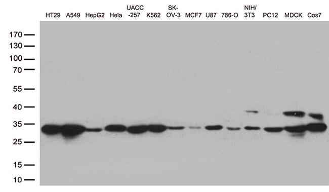 CDK2 Mouse anti-Human, Clone: OTI1C4, liquid, TrueMAB  100 µL; Unconjugated