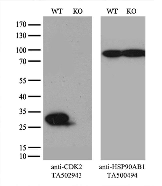 CDK2 Mouse anti-Human, Clone: OTI1A8, liquid, TrueMAB  100 µL; Unconjugated