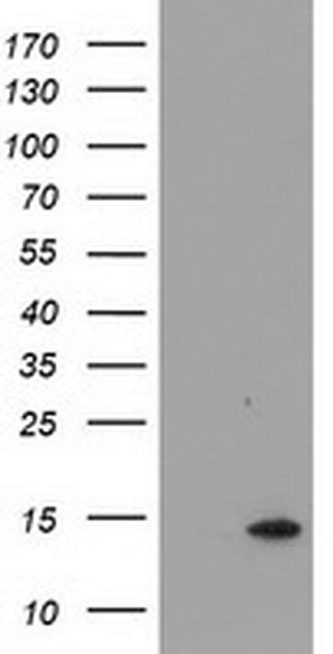CHCHD5 Mouse anti-Human, Clone: OTI1A12, liquid, TrueMAB  100 µL;