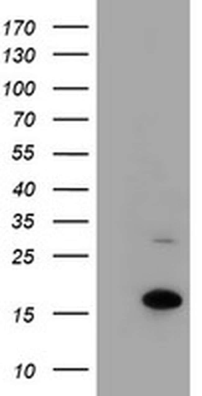 CHCHD5 Mouse anti-Human, Clone: OTI6G6, liquid, TrueMAB  100 µL; Unconjugated