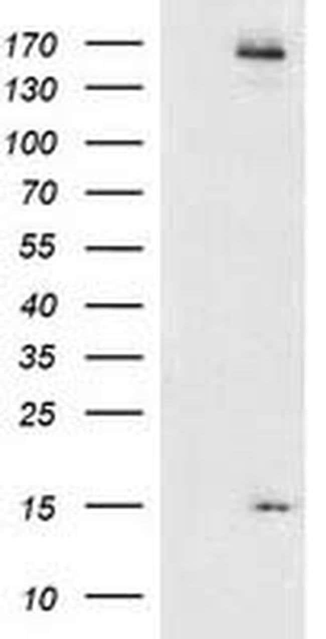 CHCHD5 Mouse anti-Human, Clone: OTI9E6, liquid, TrueMAB  100 µL; Unconjugated
