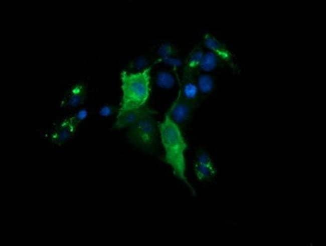CHGA Mouse anti-Human, Clone: OTI1B8, liquid, TrueMAB  100 µL; Unconjugated