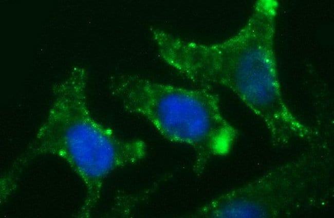 CHGA Mouse anti-Human, Clone: OTI1H2, liquid, TrueMAB  100 µL; Unconjugated