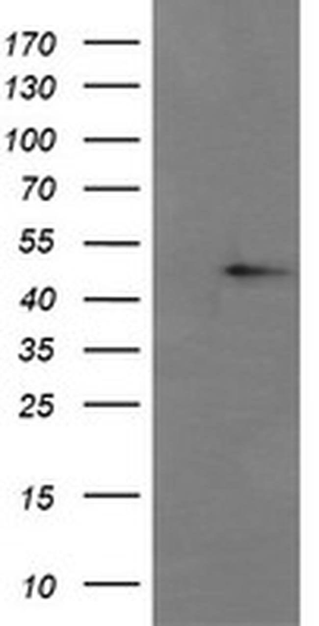 CHGA Mouse anti-Human, Clone: OTI2D7, liquid, TrueMAB  100 µL; Unconjugated