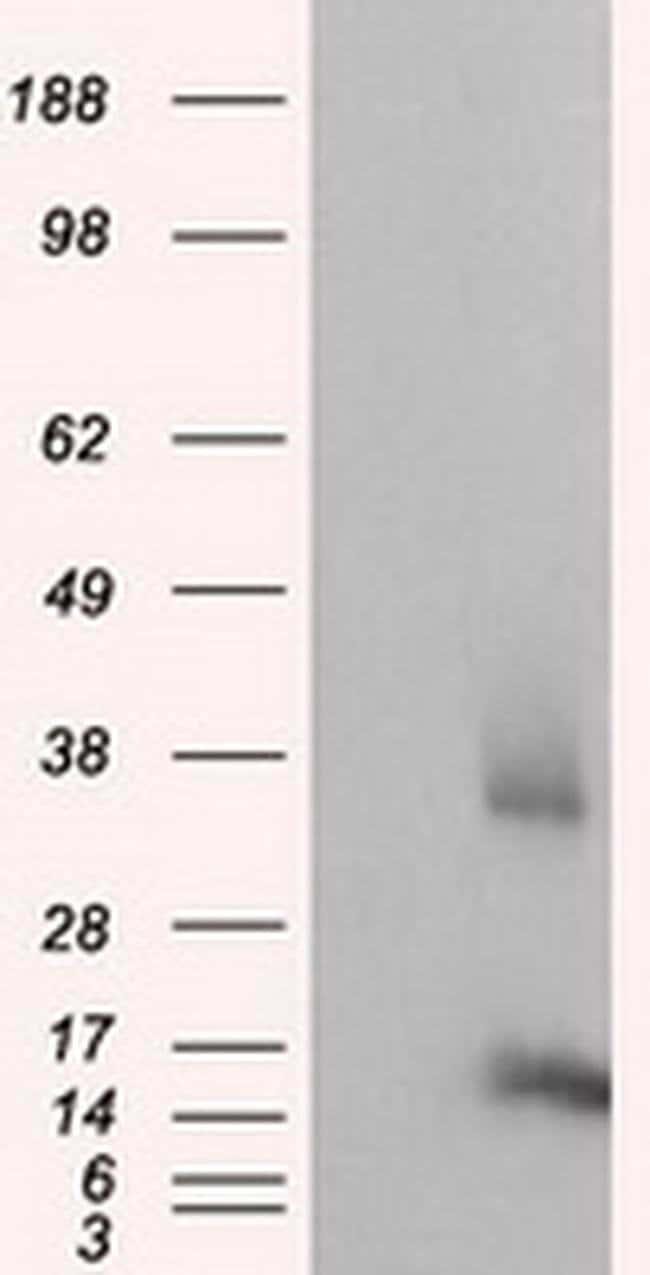 CISD1 Mouse anti-Human, Clone: OTI3A1, liquid, TrueMAB  100 µL; Unconjugated
