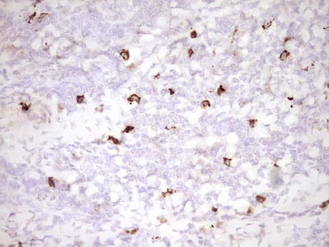 CLOCK Mouse anti-Human, Clone: OTI2H7, lyophilized, TrueMAB  100 µg;